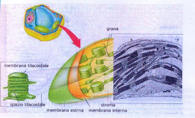fotosintesi2_plastidi0001