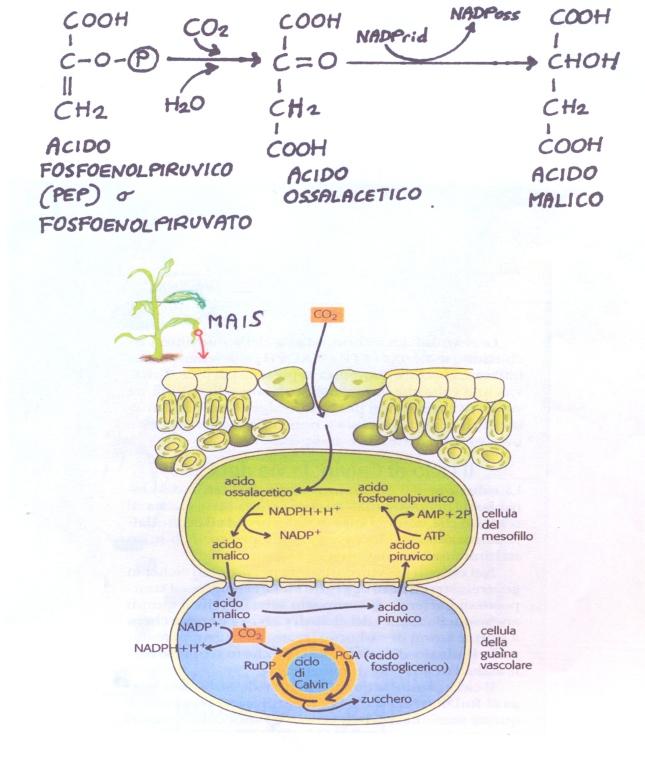 fotosintesi_plastidi10001