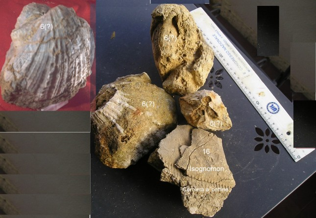 fossilix+framm. isognomon