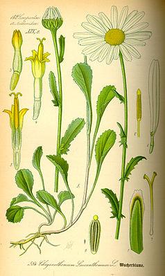 Chrysanthemum_leucanthemum0