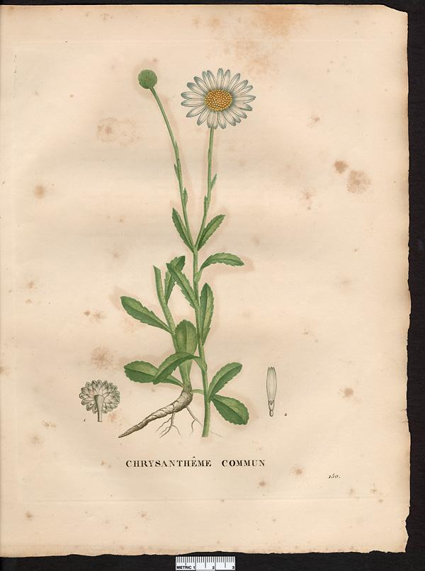 Planche de botanique de Jaume Saint-Hilaire