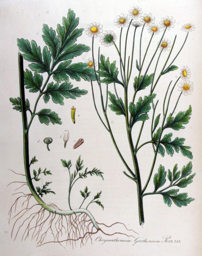 Chrysanthemum_parthenium