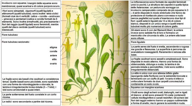 Leucanthemum_vulgare_-_DESC_-_Thome