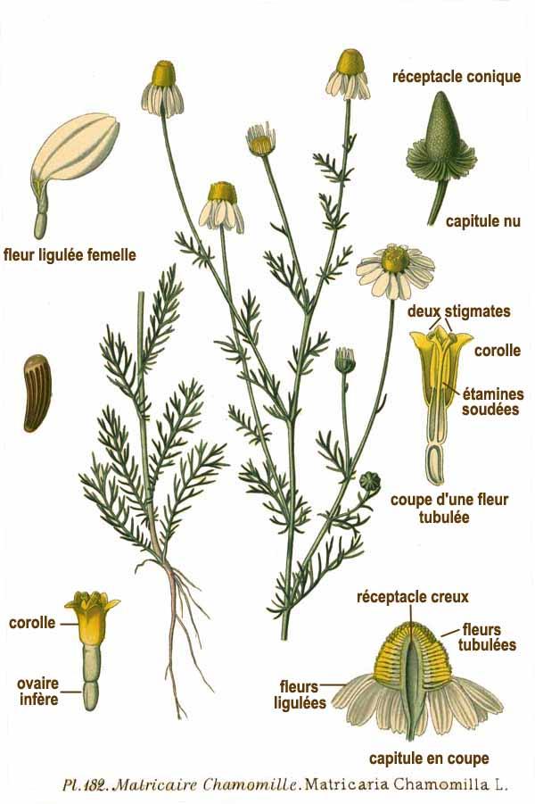 matricaria_chamomilla_scheda_botanica