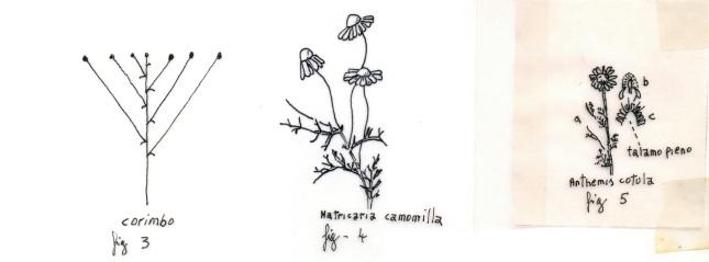 tavola-sinottica_camomille_2