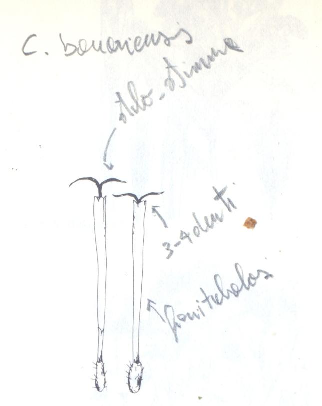 bonariensis0002
