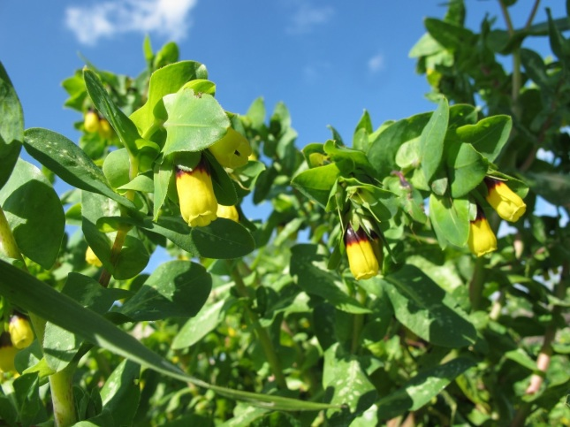 Cerinthe major L. Boraginaceae - Erba vaiola - (ok)