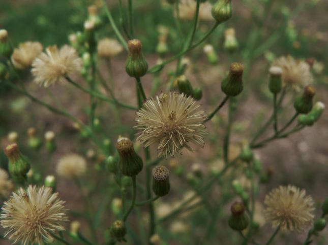 Erigeron bonariensis cime con fiori e pappi