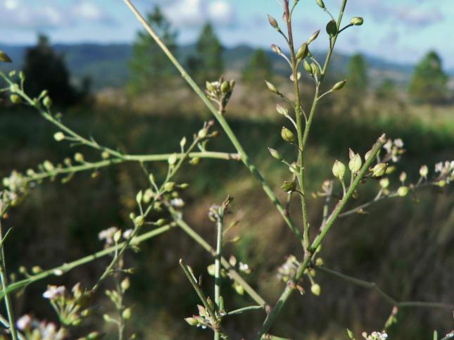 Lepidium graminifolium1