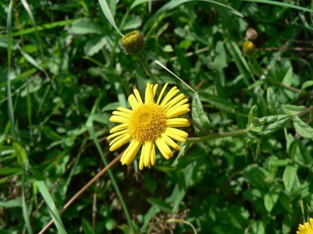 Pulicaria fiore