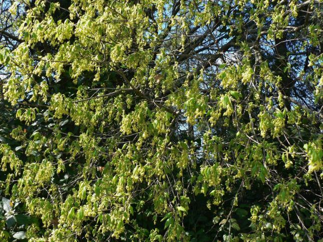 Acer monspessolanum (2)