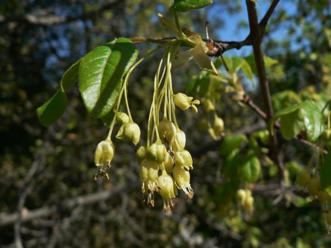 Acer monspessolanum (4)