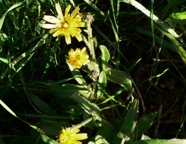 Helminthotheca echioides (1)
