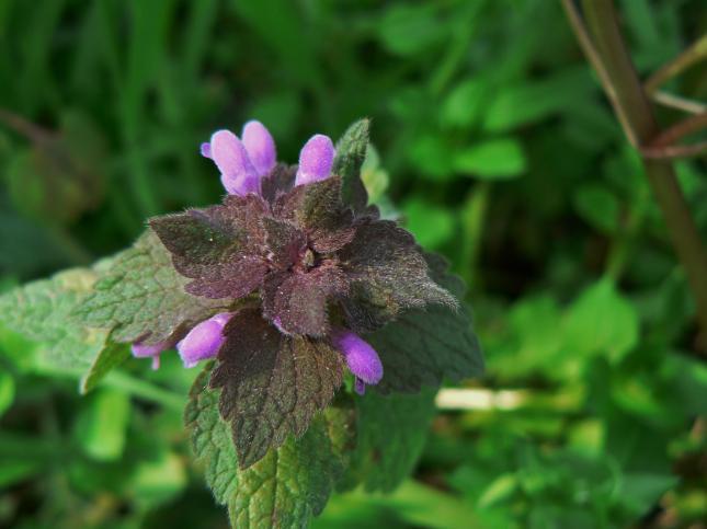 Lamium purpureum (1)