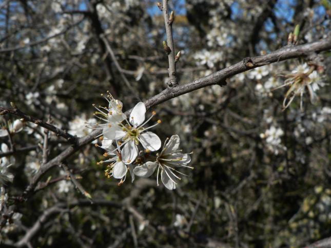 Prunus spinosa prugnolo (2)
