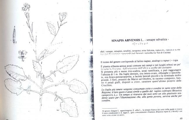 Sinapsis arvensis