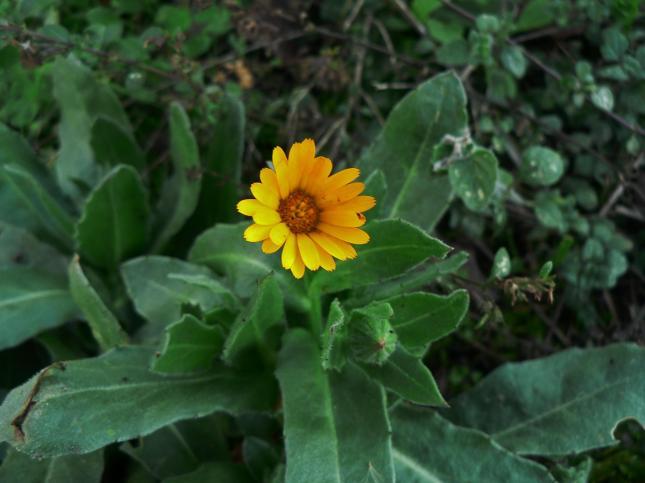 Sofia_fiore_aperto di Calendula