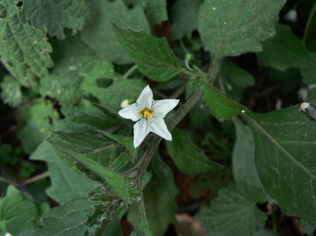 Solanum nigrum(1)