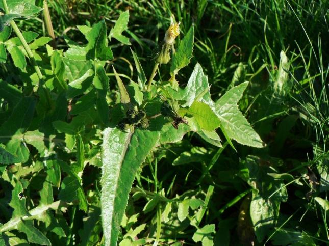 sonchus oleraceus (1)