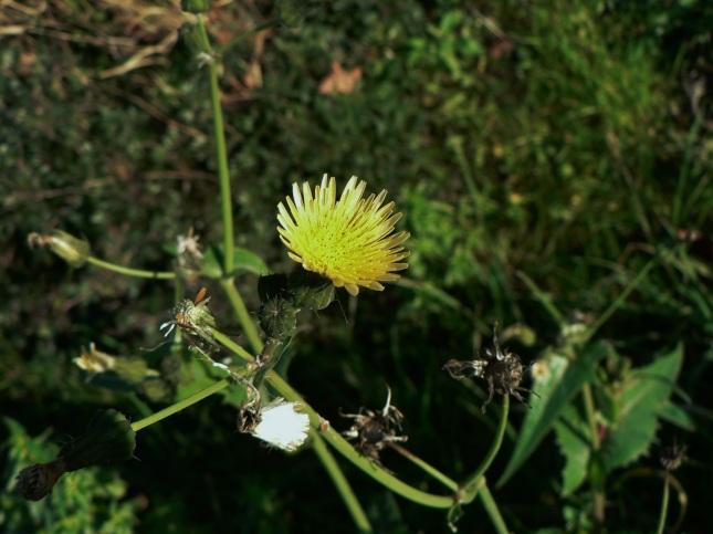 sonchus oleraceus (2)