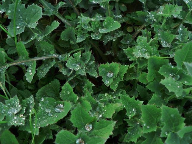 sonchus oleraceus(3)