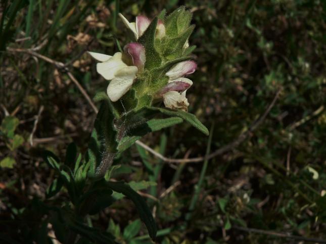 Bellardia trixago (3)