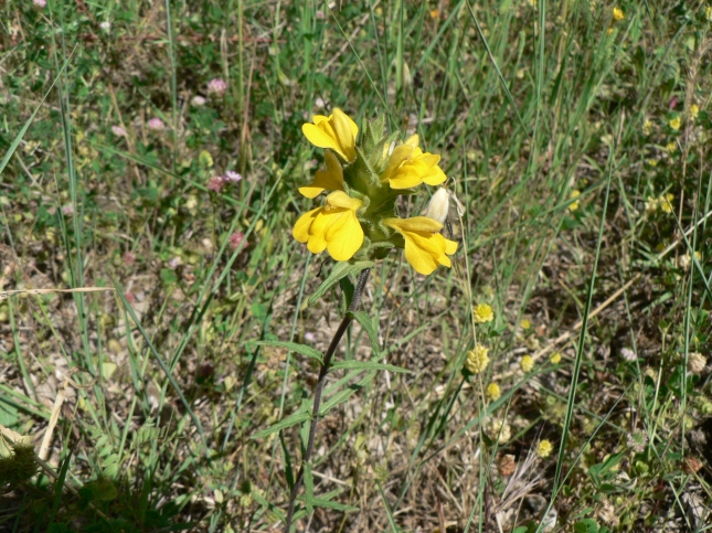 Bellardia trixago (lutea) (1)