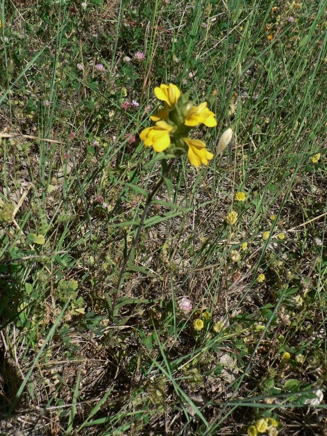 Bellardia trixago (lutea) (2)