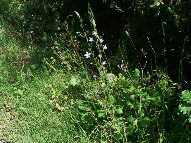 Campanula rapunculus (12)