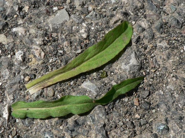 Campanula rapunculus Foglie della rosetta