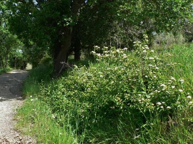 Cornus sanguinea (1)