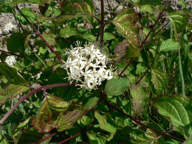 Cornus sanguinea (2)