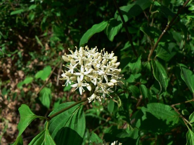 Cornus sanguinea (4)