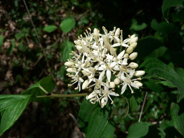 Cornus sanguinea (5)