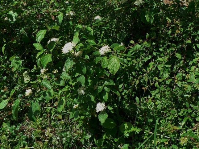 Cornus sanguinea (7)