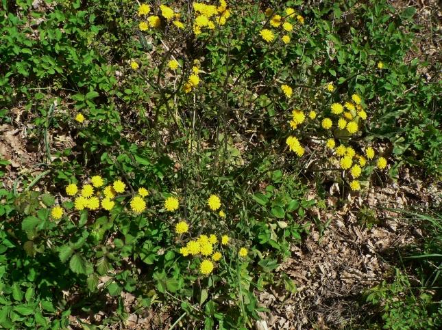 Crepis vesicaria (4)