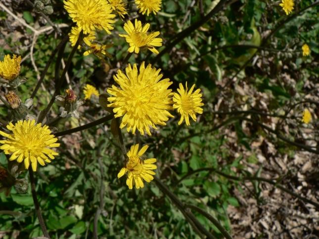 Crepis vesicaria (5)