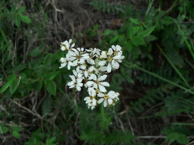Filipendula in fioritura (1)