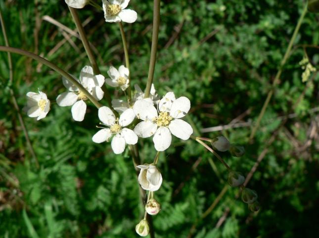 Filipendula in fioritura (2)