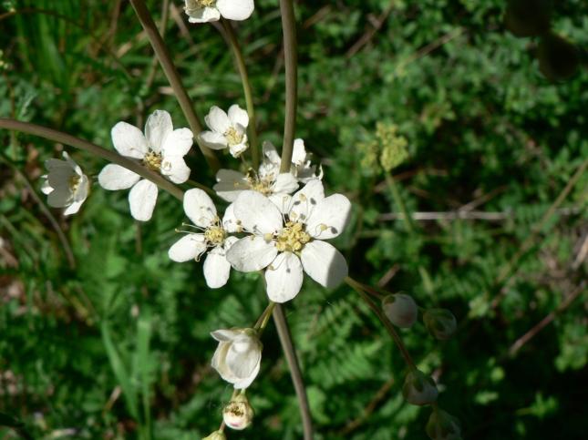 Filipendula in fioritura (3)