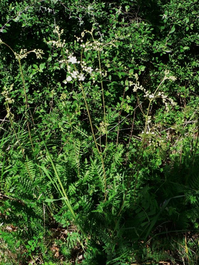 Filipendula in fioritura (4)
