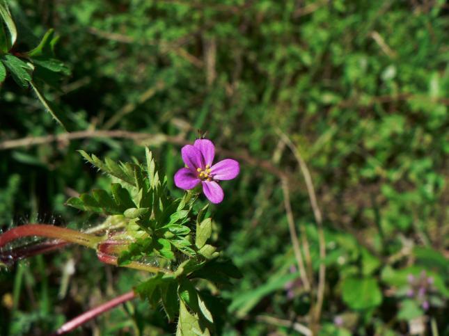 GERANIUM purpureum4