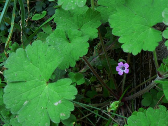GERANIUM rodundifolium2