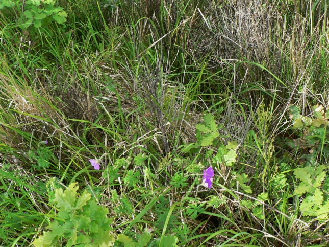 geranium samguineum (3)
