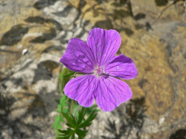 geranium samguineum (4)