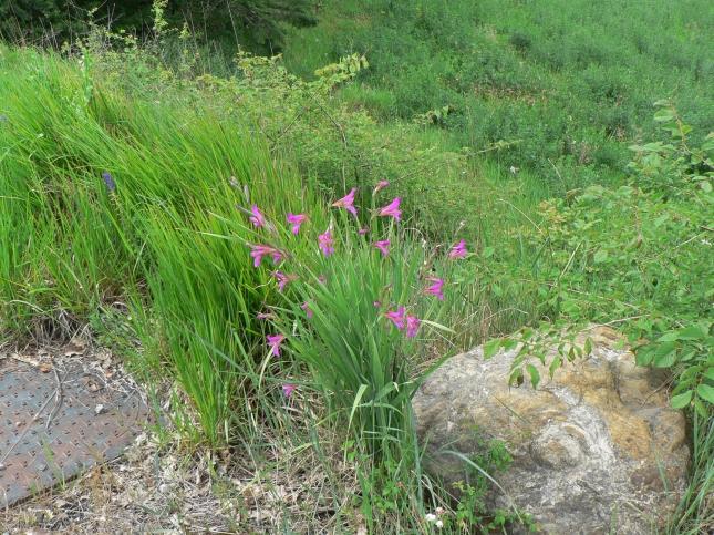 Gladiolus italicus (3)