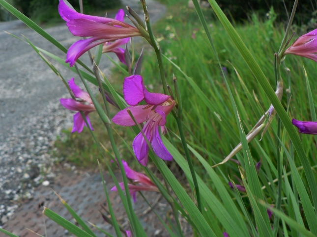 Gladiolus italicus (4)