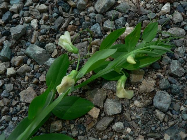 Lathyrus ochrus (6)