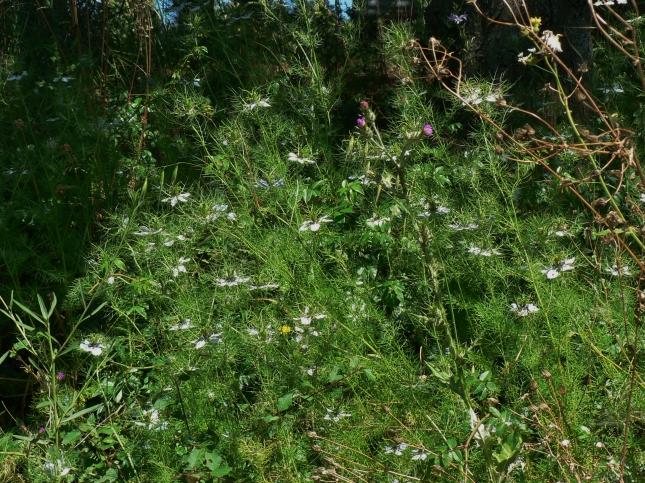 Nigella damascena (1)