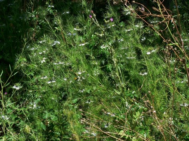 Nigella damascena (2)